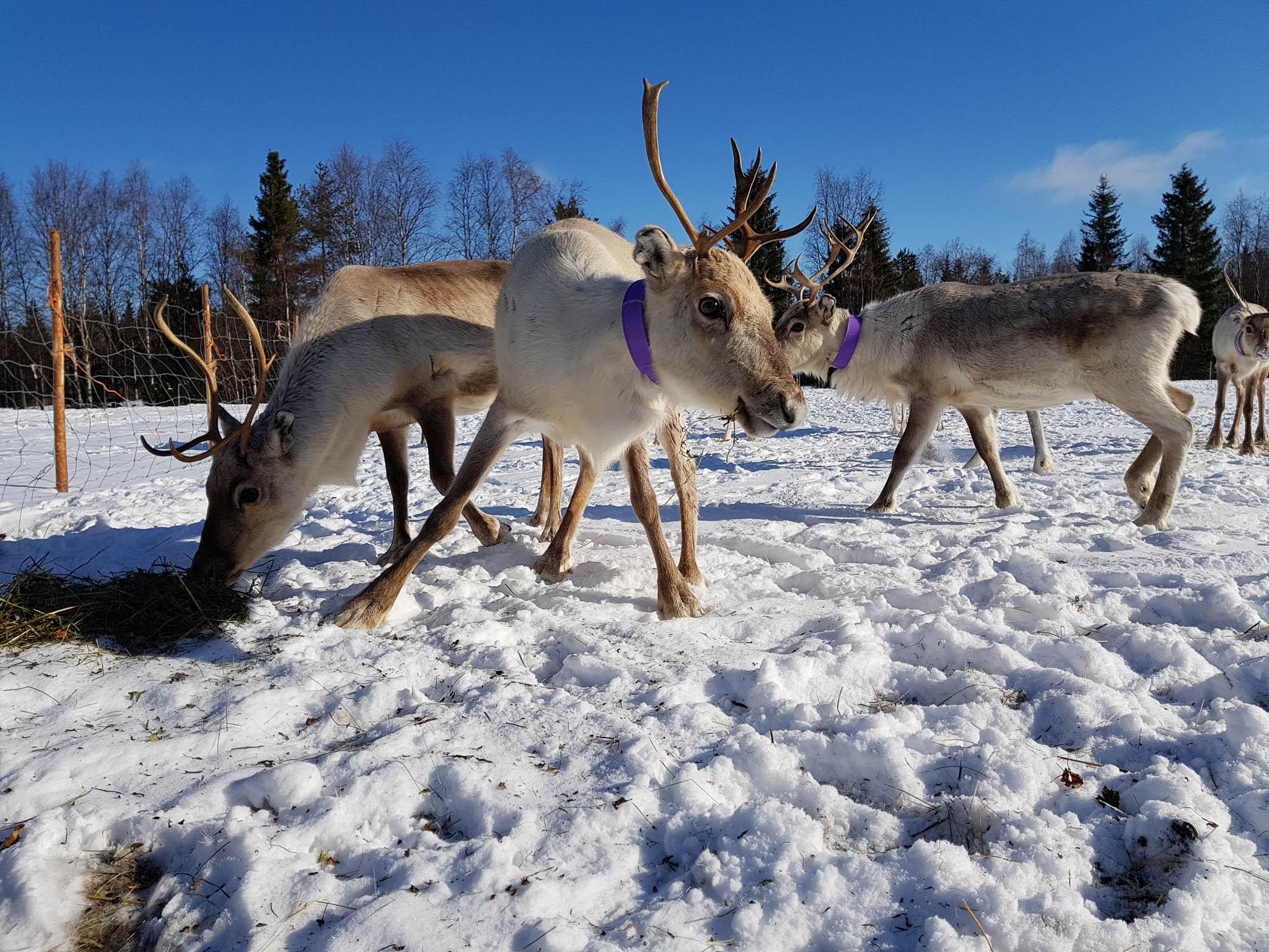 Meet the reindeers more closer